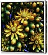 Irish Rose. Also Known As Pinwheel Acrylic Print