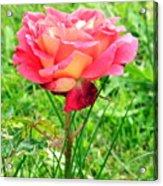 Irish Rose  Acrylic Print