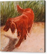 Irish Setter In The Grass Acrylic Print