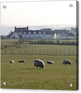 Irish Sheep Farm Acrylic Print