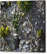 Irish Stone Flowers Acrylic Print