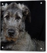 Irish Wolfhound Droc Vi Acrylic Print