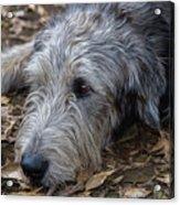 Irish Wolfhound Ivan Acrylic Print