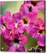 Irridescent Pink Flowers Acrylic Print
