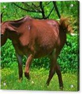 Irritated Horse Acrylic Print