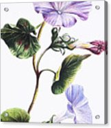 Isabella Sinclair - Pohue Acrylic Print