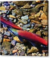 It Is Spawning Time Acrylic Print
