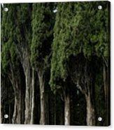 Italian Cypress Trees Line A Road Acrylic Print