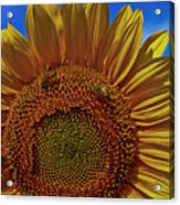 Italian Sunflower With Bees Acrylic Print