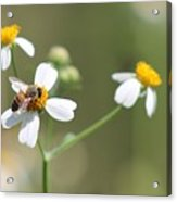 Its A Bee's World Acrylic Print
