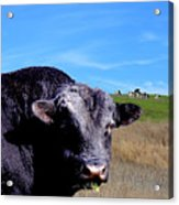 Its A Bulls Life Acrylic Print by Wingsdomain Art and Photography