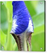 It's A Wrap - Iris Bud Acrylic Print