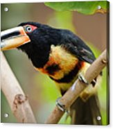 It's All About The Beak Acrylic Print