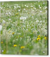 It's Dandelion Time Acrylic Print