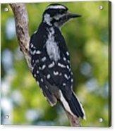 I've Got Your Back - Female Downy Woodpecker Acrylic Print