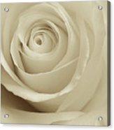 Ivory Rose Acrylic Print