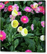 Ivory Tulips And Salmon Daisys Acrylic Print