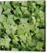 Ivy Green Acrylic Print