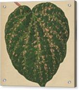Ivy Leaf, Cissus Porphyrophyllus  Acrylic Print