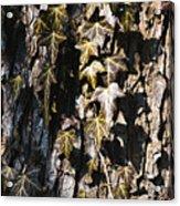 Ivy Leaves Grunge Tone Acrylic Print