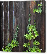 Ivy On Fence Acrylic Print