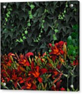 Ivy Over Acrylic Print