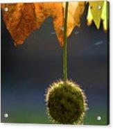 Ivy Pods Acrylic Print