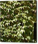 Ivy Sunlight Acrylic Print