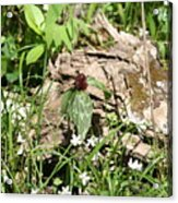 Jack In The Pulpit Stands Tall Acrylic Print
