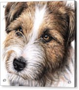 Jack Russell Terrier Portrait Acrylic Print