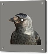Jackdaw Corvus Monedula Bird Portrait Vector Acrylic Print