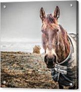 Jacketed Horse Acrylic Print