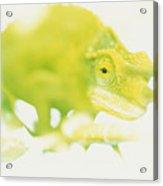 Jacksons Chameleon Color Acrylic Print