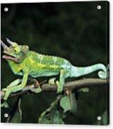 Jacksons Chameleon On Branch Acrylic Print by Dave Fleetham - Printscapes