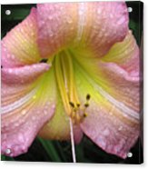 Jacqueline's Garden - Lily Glistening Acrylic Print