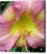 Jacqueline's Garden - Lily Glistening Thrice Acrylic Print