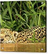 Jaguar Approaches Cayman Acrylic Print