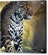 Jaguar At Rest Acrylic Print