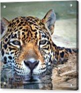 Jaguar Cooldown Acrylic Print