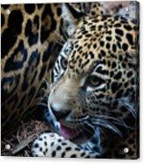 Jaguar Cub Acrylic Print