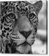 Jaguar In Black And White Acrylic Print