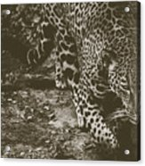 Jaguar On The Prowl Acrylic Print