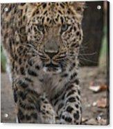 Jaguar On The Prowl Acrylic Print