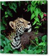 Jaguar Panthera Onca Peeking Acrylic Print