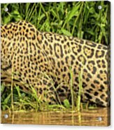 Jaguar Prowls The River's Edge Acrylic Print