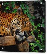 Jaguar Relaxing Acrylic Print