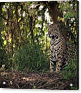 Jaguar Sitting In Trees In Dappled Sunlight Acrylic Print