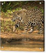 Jaguar Walking Beside River In Dappled Sunlight Acrylic Print