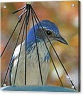 Jail Bird Acrylic Print