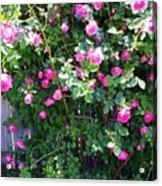Jane's Rose Bush Acrylic Print